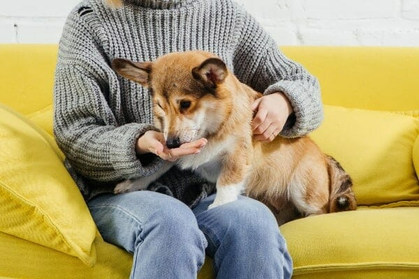 Owner giving Corgi a treat with medication, photo