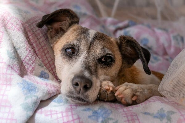 Older terrier curled up in a blanket, photo