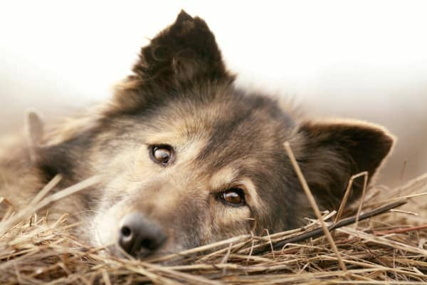 Older long haired dog lying in straw, photo