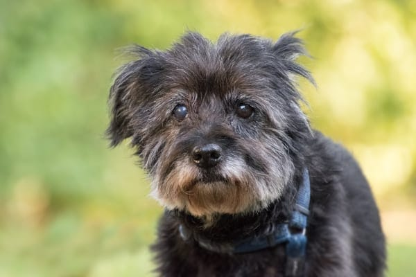 Small Terrier mix wearing a harness, looking at camera, photo