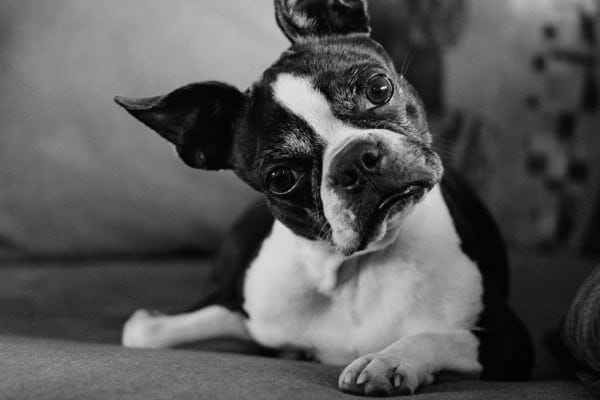 senior dog with head tilted, photo