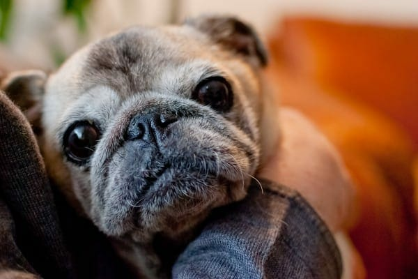 Old pug in owner's lap, photo