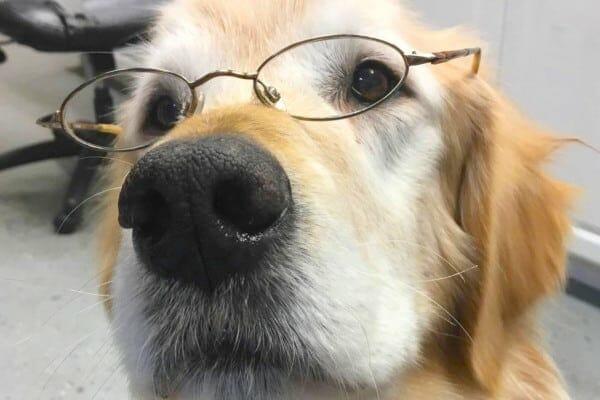 senior dog wearing glasses as if reading about senior dog supplements, photo