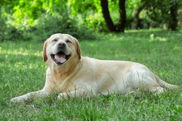 Older dog lying in grass enjoying the outdoors, photo