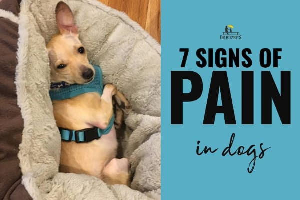 photo of small dog grimmacing in pain and title 7 signs of pain in dogs
