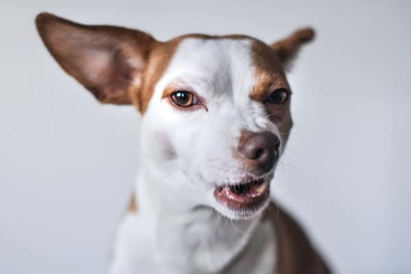 dog grimmacing as a sign of pain in dogs photo