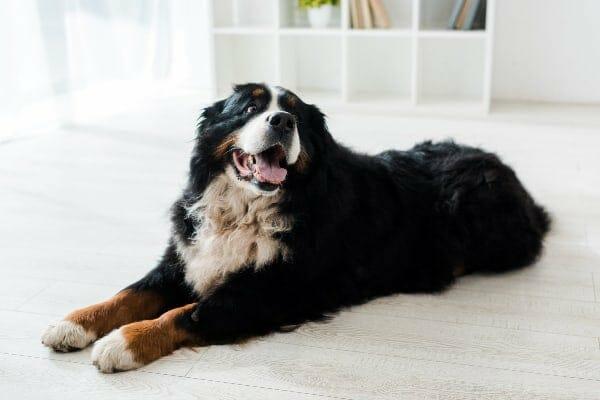 Bernese Mountain Dog laying down, photo