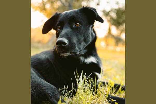 Black dog laying down in field, photo