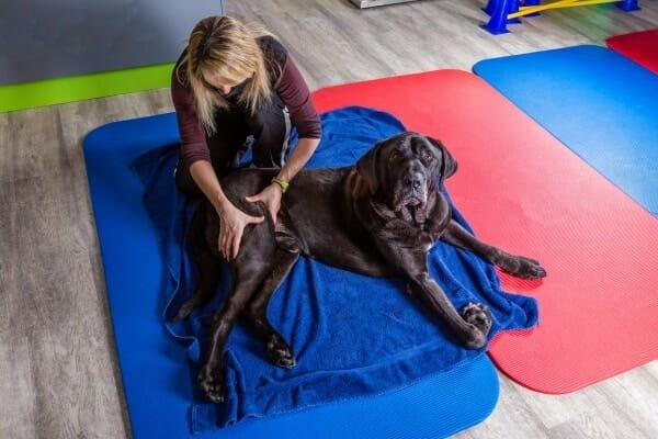 Large dog having a massage, photo