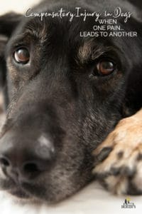close-up of black dog's face with title Compensatory Injury in Dogs When One Pain Leads to Another