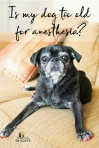 senior dog on couch and title is my dog too old for anesthesia