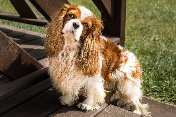 Cavalier spaniel with a head tilt, photo