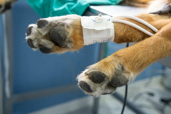 Hind paws with blood pressure cuff applied, photo