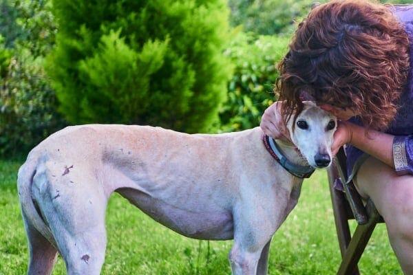 Greyhound in a park, photo