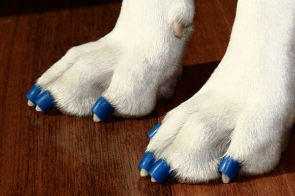 white dog paws wearing blue ToeGrips for traction, photo