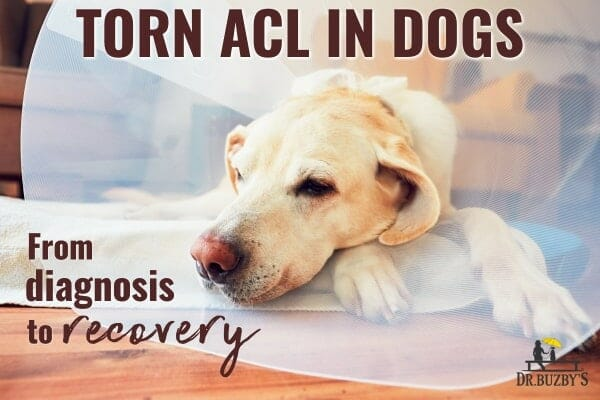 older dog wearing cone and title torn acl in dogs, photo