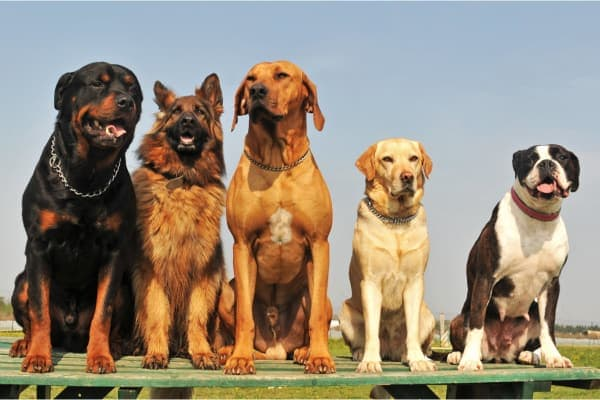 photo of various breeds that are at increased risk for a torn acl in dogs