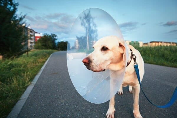labrador retriever wearing a cone after surgery for torn acl in dogs, photo