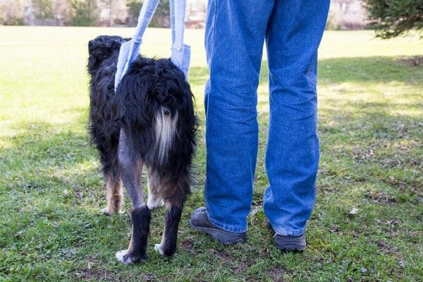 dog with assistive device around back end to aid in walking, photo