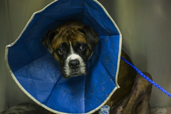 Boxer in a kennel post surgery wearing a soft e-collar, photo