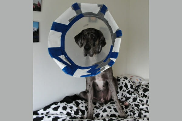 Oliver, a merle Great Dane, wearing his  makeshift e-collar, photo