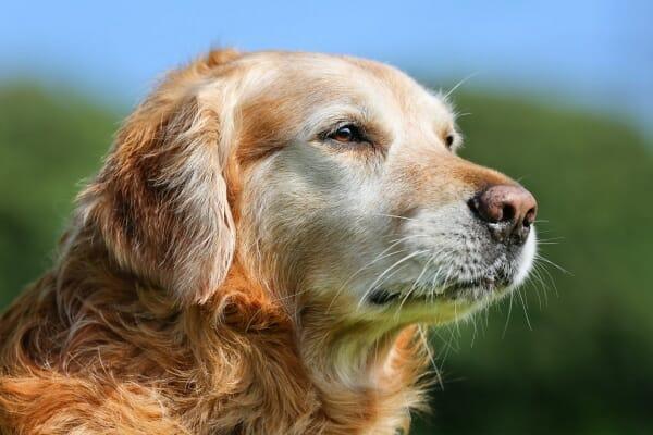 Senior Golden Retriever, photo