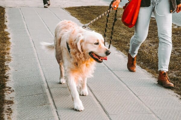 Golden Retriever out on a walk with owner, photo