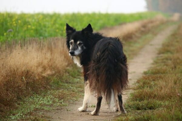 Senior border collie on a path, looking back, photo