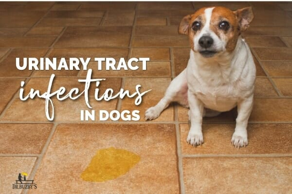 """dog sitting next to urine and title """"Urinary tract infections in dogs"""", photo"""