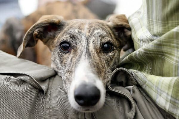 Whippet laying his head in owners lap, photo