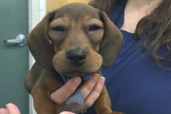 Dachshund puppy having severe facial swelling post vaccine, photo