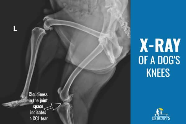 x-ray of a dog's knee showing cloudiness in the joint space that indicates a ccl tear