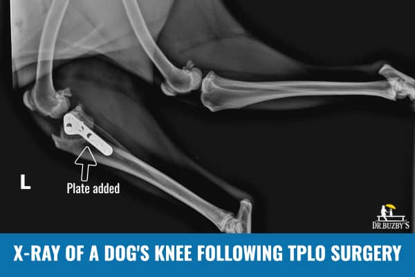 photo x-ray of a dog's knee following tplo surgery for a torn acl in dogs